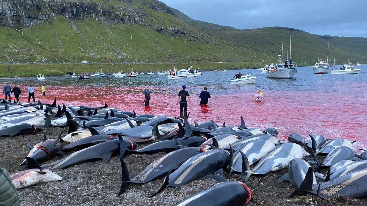 dinamarca: dramaticas imagenes de mas de 1.400 delfines muertos tras caza en las islas feroe