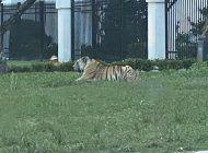 un hombre es detenido tras huir de la policia con un tigre en un vecindario de houston