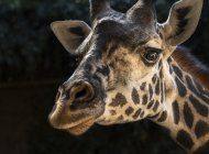 fallece jirafa en zoo de la tras parir cria muerta