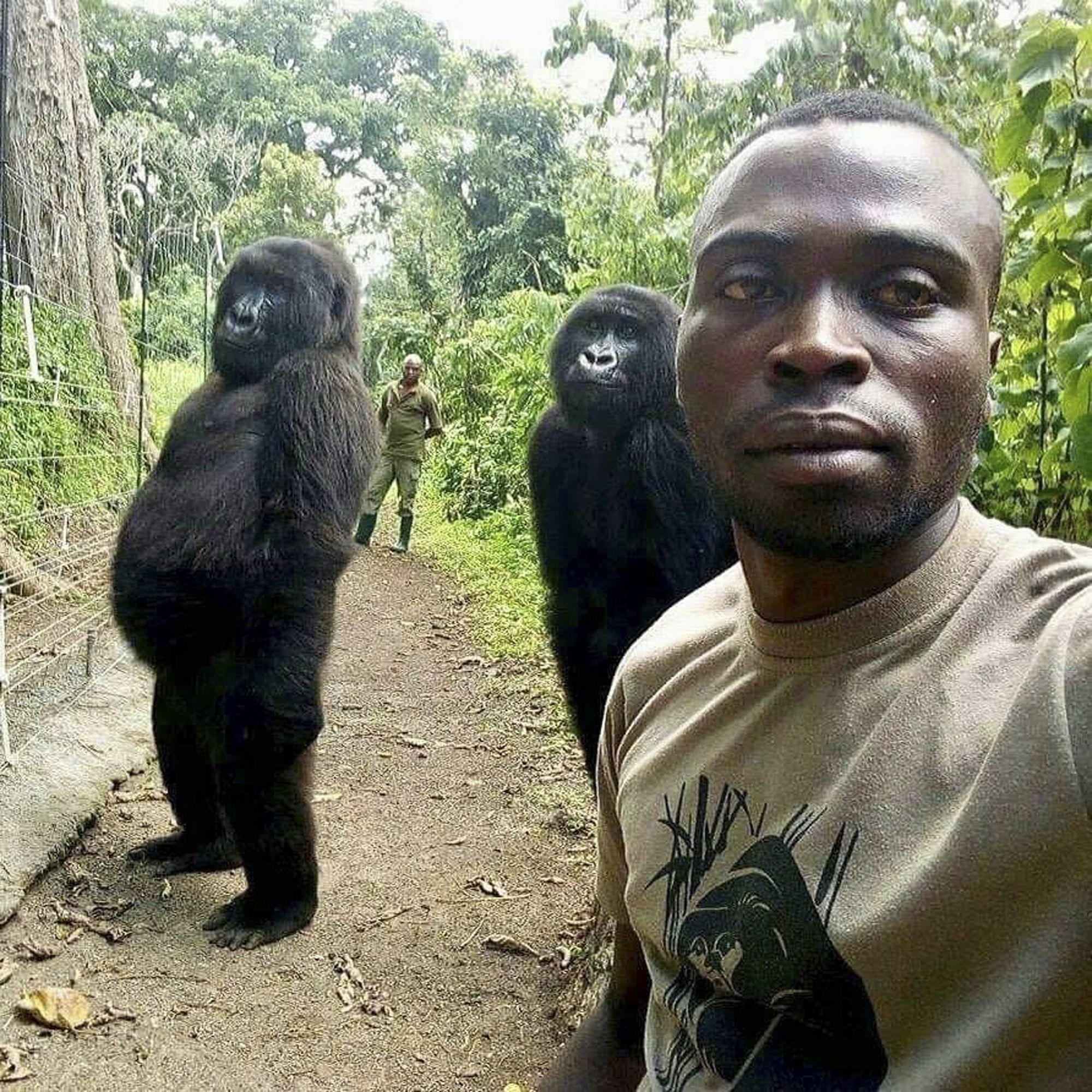 Muere en Congo una gorila famosa que posó para una selfie
