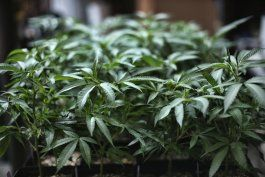 eeuu: la camara de representantes aprobo la despenalizacion de la marihuana a nivel federal