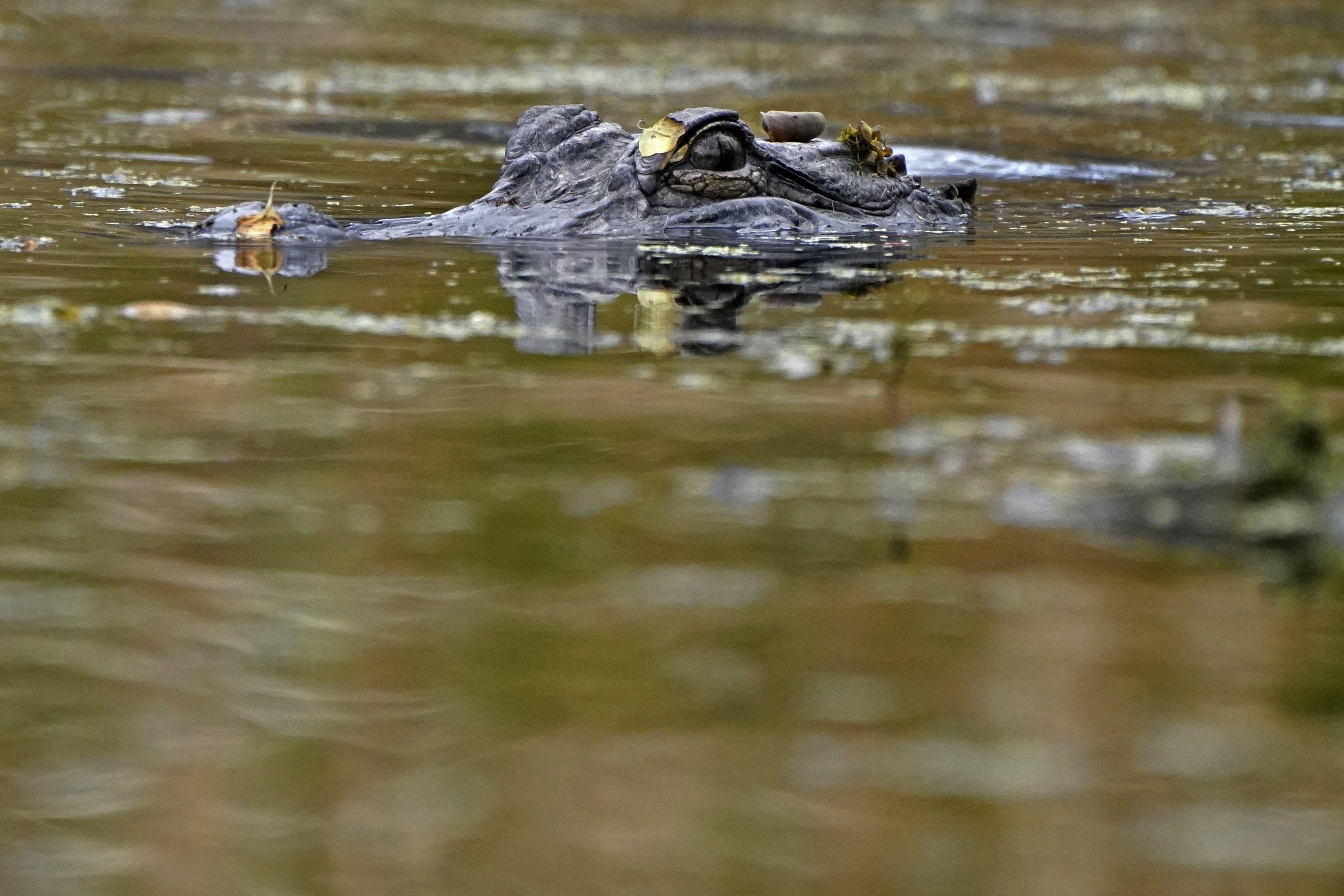 la poblacion de cocodrilos en luisiana se esta recuperando