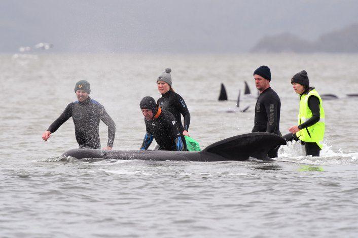 Casi 500 ballenas han encallado en una isla de Australia