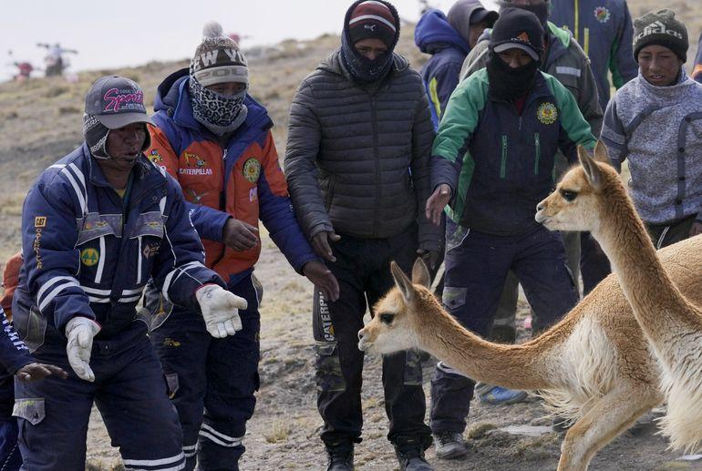 Bolivia impulsa la esquila de vicuñas sin lastimarlas
