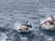 video: momento en el que un tiburon blanco devora un ave descuidada