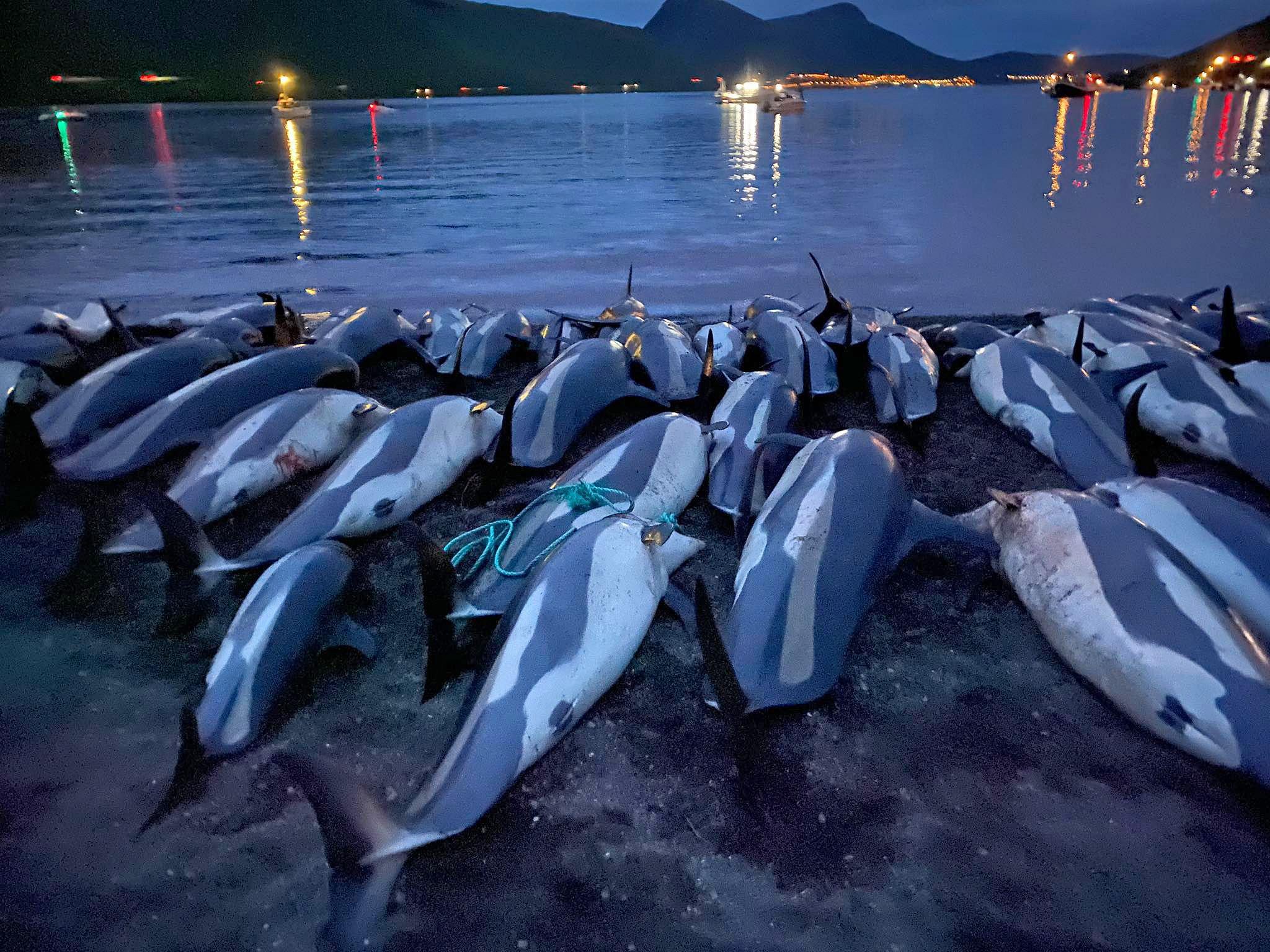 gobierno de las islas feroe investiga matanza de delfines