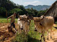 la cuba del recuerdo |  el ganado vacuno en cuba antes del 1959