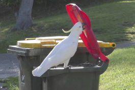 cacatuas aprenden a levantar las tapas de botes de basura